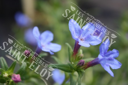 Lithospermum heavenly blue