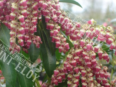 Pieris valey valentine