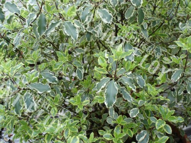 Pittosporum argyrophylum