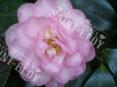 Camelia spring sonnet