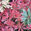 Pieris flaming silver