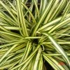 Carex super gold